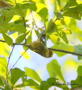Brewster's (backcross) Warbler  (Hybrid of Golden-winged  & Blue-winged Warbler) / North Alabama / Point Mallard Park / September 24, 2014. (Heavy crop, bad light)