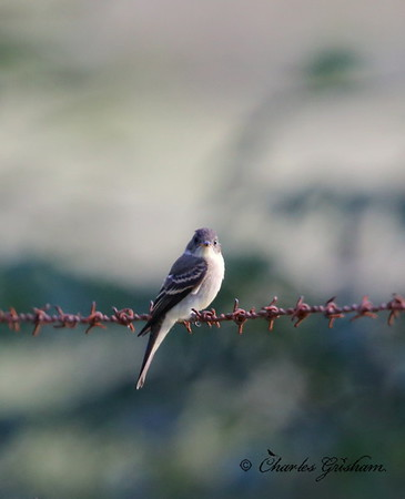 Eastern Wood Pewee / North Alabama / Berry Mountain / September 17, 2014
