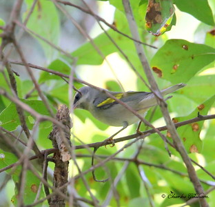Golden-winged Warbler / North Alabama / Point Mallard Park / September 18, 2014