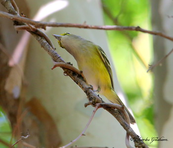 White-eyed Vireo / North Alabama / Point Mallard Park / September 25, 2014