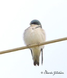 Tree Swallow / North Alabama / Winfred Thomas Agricultural Research Station / September 28, 2014