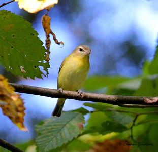 Philadelphia Vireo / North Alabama / Point Mallard Park / September 25, 2014