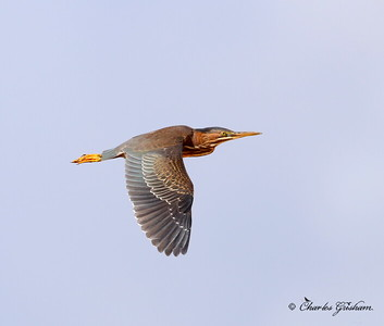 Green Heron / North Alabama / Mooresmill / September 28, 2014