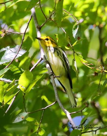 Black-throated Green Warbler / North Alabama / Point Mallard Park / September 24, 2014.