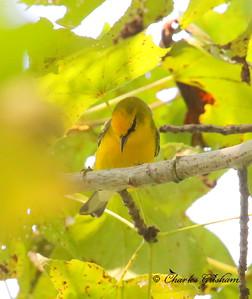 Blue-winged Warbler / North Alabama / Point Mallard Park / September 18, 2014