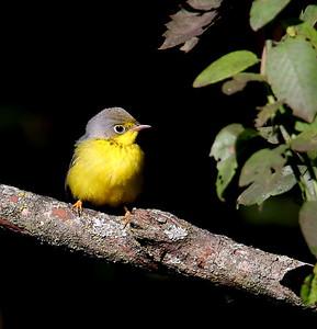 Canada Warbler / North Alabama / Indian Creek Greenway / September 23, 2014