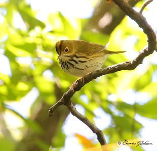 Ovenbird / North Alabama / Monte Sano / September 22, 2014