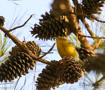 Pine Warbler / North Alabama / Berry Mountain / September 17, 2014