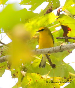 Blue-winged Warbler / North Alabama / Point Mallard Park / September 18, 2014