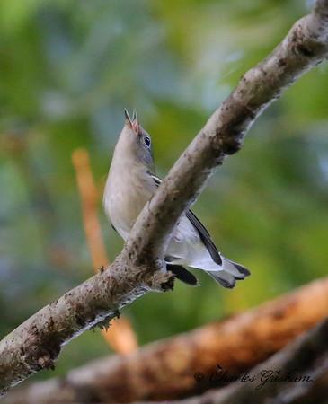Chestnut-sided Warbler (young) / North Alabama / Riverwalk / September 19, 2014