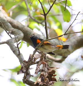 American Redstart / North Alabama / Point Mallard Park / September 18, 2014