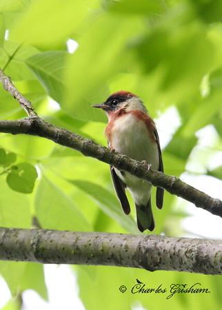 Bay-breasted Warbler / North Alabama / Monte Sano Mountain / April 29, 2014