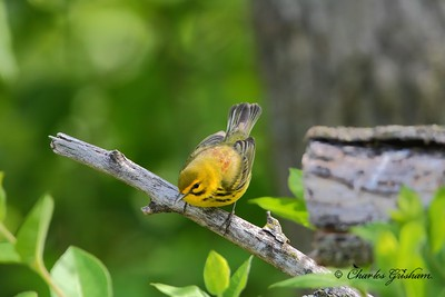 Prarie Warbler on Monte Sano