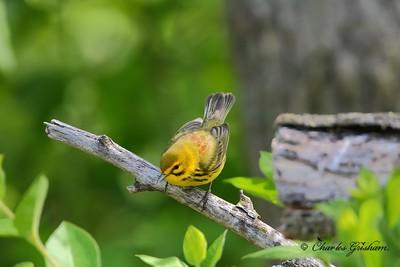 Prarie Warbler on Monte Sano