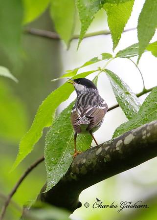 Blackpoll Warbler on Monte Sano