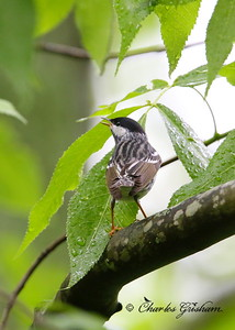 Blackpoll Warbler on Monte Sano