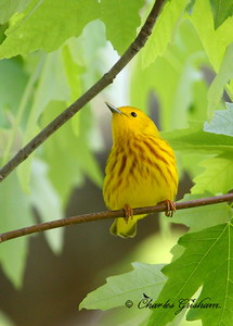 Yellow Warbler / North Alabama / Point Mallard / April 25, 2014