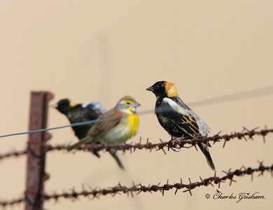 Bobolink / North Alabama / Winfred Thomas Agricultural Research Station / May 1, 2014 / GPS