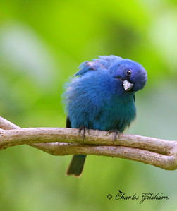 Indigo Bunting / North Alabama / Indian Creek Greenway / May 15, 2014 / GPS