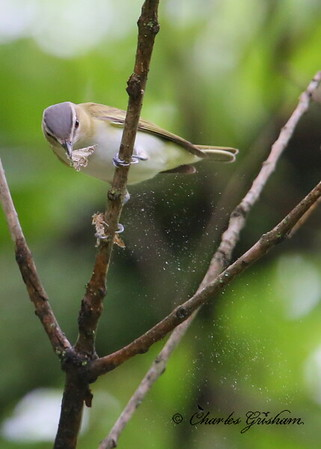 Red-eyed Vireo / North Alabama / Monte Sano / April 30, 2014