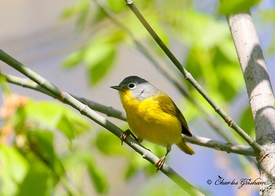 Nashville Warbler/ North Alabama / Indian Creek Greenway / April 16, 2014 / GPS