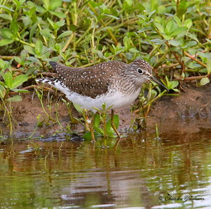 Solitary Sandpiper / North Alabama / Point Mallard / May 8, 2014