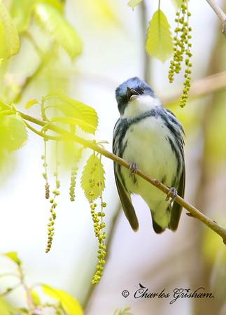 Cerulean Warbler / North Alabama / Monte Sano Mountain / April 15, 2014 / GPS