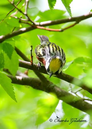 Chestnut-sided Warbler / North Alabama / Monte Sano Mountain / April 30, 2014