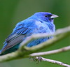 Indigo Bunting at the Indian Creek Greenway in north Alabama