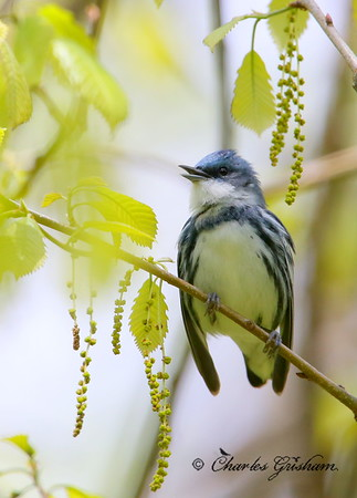 Cerulean Warbler / North Alabama / Monte Sano Mountain / April 15, 2014 / GPS