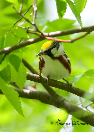 Chestnut-sided Warbler / North Alabama / Monte Sano Mountain / April 30, 2014