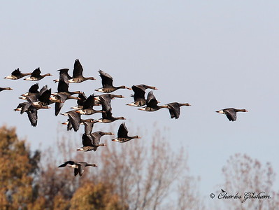 Greater White-fronted Geese