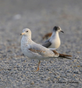 Ring-billed Gull with Franklin's  / North Alabama / Guntersville Lake- GPS / October 24, 2014