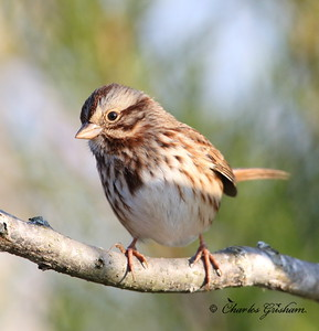 Song Sparrow / North Alabama / Lady Ann Lake - GPS / November 14, 2014 / 7d mk ii