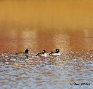 Buffleheads with a Coot / North Alabama / Riverwalk - GPS / November 6, 2014 / 7d mk II
