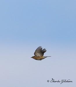 Yellow-rumped Warbler / North Alabama / Lady Ann Lake - GPS / November 13, 2014 / 7d mk ii / heavy crop