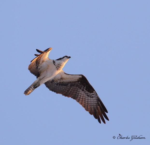 Osprey in Guntersville