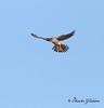 American Kestrel / North Alabama / Wheeler Wildlife Refuge - GPS / November 10, 2014 / 7d mk ii