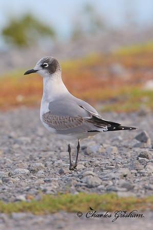 Franklin's Gull / North Alabama / Guntersville Lake- GPS / October 24, 2014 / 6d