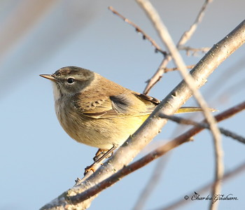Palm Warbler / North Alabama / Lady Ann Lake - GPS / November 14, 2014 / 7d mk ii