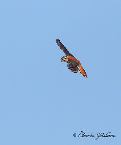 American Kestrel / North Alabama / Wheeler Wildlife Refuge - GPS / November 10, 2014 / 7d mk ii
