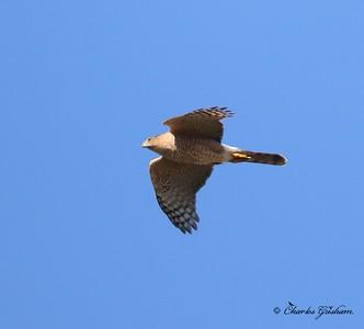 Cooper's Hawk / North Alabama / Wheeler Wildlife Refuge - GPS / November 10, 2014 / 7d mk ii