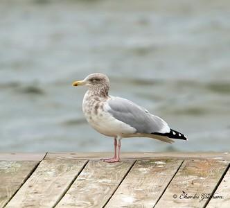 Herring Gull / North Alabama / Guntersville - GPS / November 7, 2014 / 7d mk ii