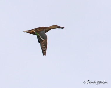 Northern Shoveler / North Alabama / Lady Ann Lake - GPS / November 13, 2014 / 7d mk II / overcast conditions