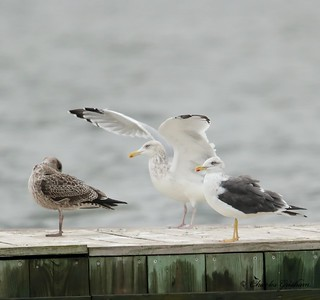 Herring Gulls (left) and Lesser Black-backed Gull (right) / North Alabama / Guntersville - GPS / November 7, 2014 / 7d mk ii