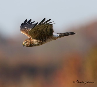 Northern Harrier / North Alabama / Limestone County - GPS / November 18, 2014 / 7d mkii