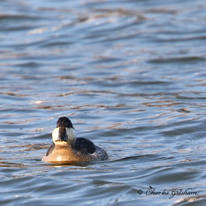 Ruddy Duck / North Alabama / Lady Ann Lake - GPS / November 14, 2014 / 7d mk ii