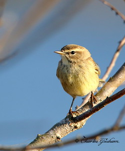 Palm Warbler / North Alabama / Lady Ann Lake - GPS / November 14, 2014 / 7d mk ii