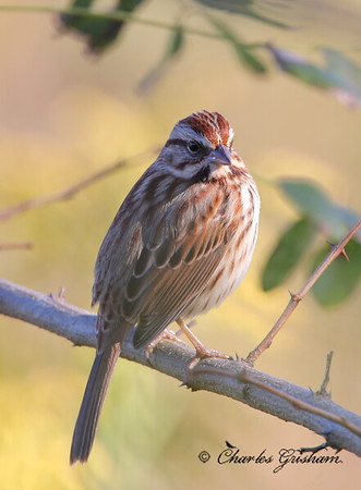 Song Sparrow / North Alabama/ Research Park / October 22, 2014