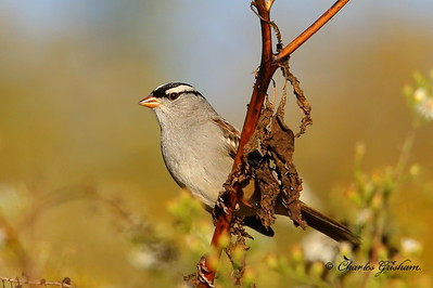 White-crowned Sparrow / North Alabama / Research Park - GPS / October 24, 2014 / 6d